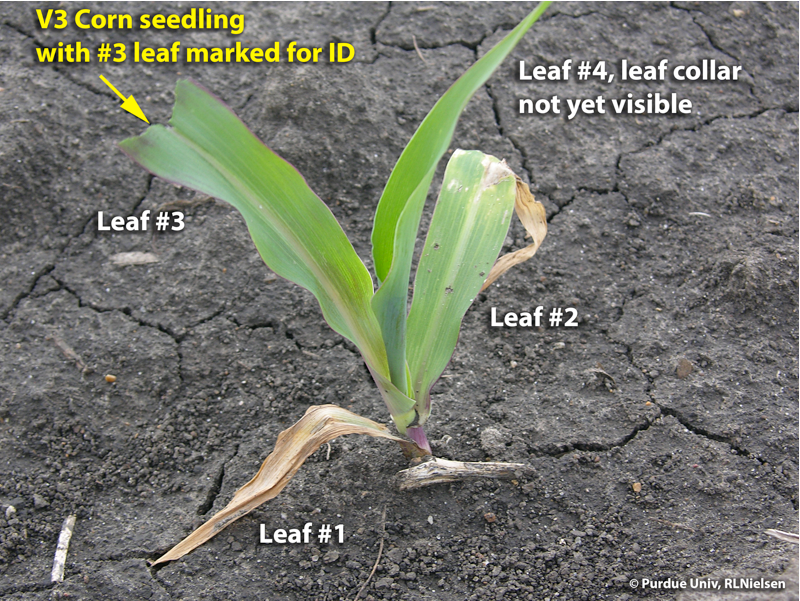 V3 corn seedling with #3 leaf marked as an indicator leaf for subsequent leaf staging.
