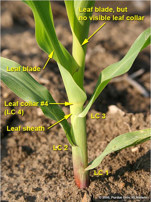 Parts of a corn leaf.