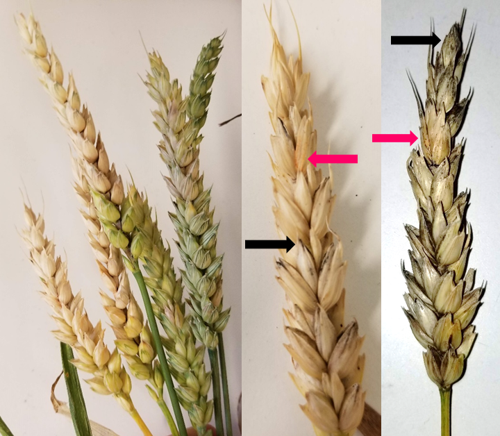 Figure 1. Wheat spikes showing bleached florets affected by scab. Salmon to pink sporulation may be visible and can help confirm once the spikes have reached maturity (pink arrows). Dark purplish-black fruiting bodies can also occur mature wheat heads (black arrows),