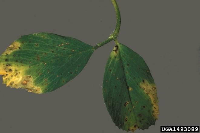 Figure 1. Common leaf spot (Pseudopeziza medicaginis). Photo source: University of Georgia Plant Pathology, University of Georgia, Bugwood.org