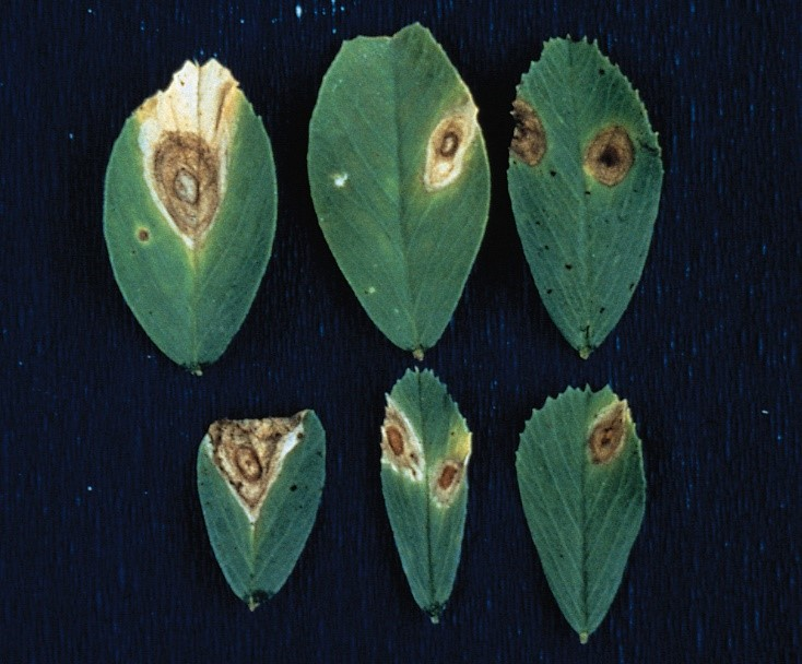 Figure 3. Stemphylium leaf spot (Stemphylium botryosum). Photo Credit: Courtesy R. A. Kilpatrick—© APS. Reproduced, by permission, from Samac, D. A., Rhodes, L. H., and Lamp, W. O., eds. 2014. Compendium of Alfalfa Diseases and Pests, 3rd ed. American Phytopathological Society, St. Paul, MN.