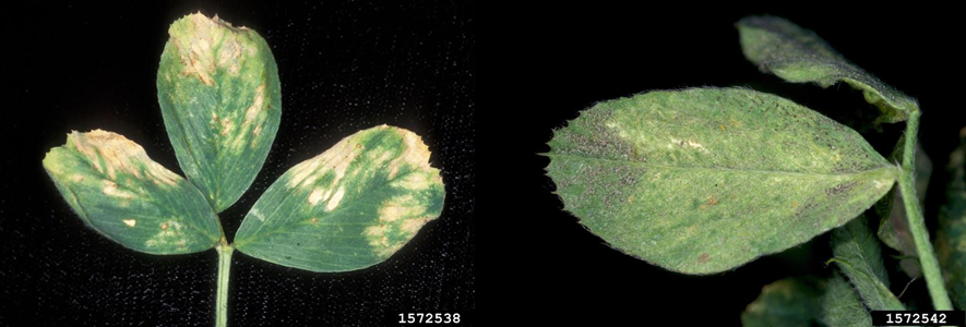 Figure 5.  Downy mildew (Peronospora trifoliorum) upper chloric tissues and fungal growth on lower surface. (Photo Credits: Gerald Holmes, California Polytechnic State University at San Luis Obispo, Bugwood.org)
