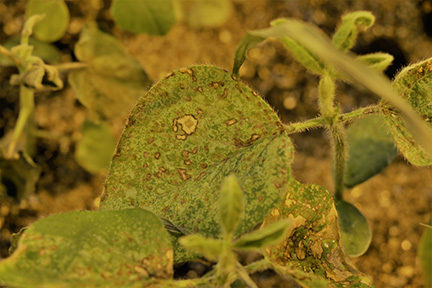 Figure 6. Soybean injury in response to fomesafen (Flexstar) applied under hot and humid conditions.