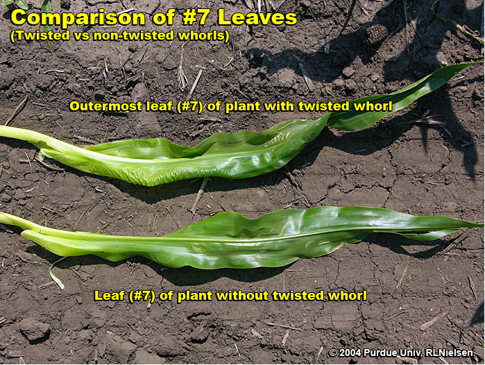 Leaf comparison between affected and unaffected plants.