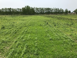 photo of hemp field