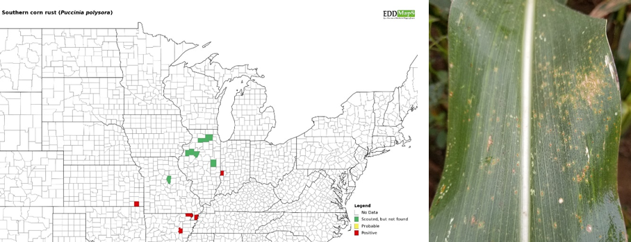 Update on Corn Diseases In Indiana: Part 2 Gray Leaf Spot ...