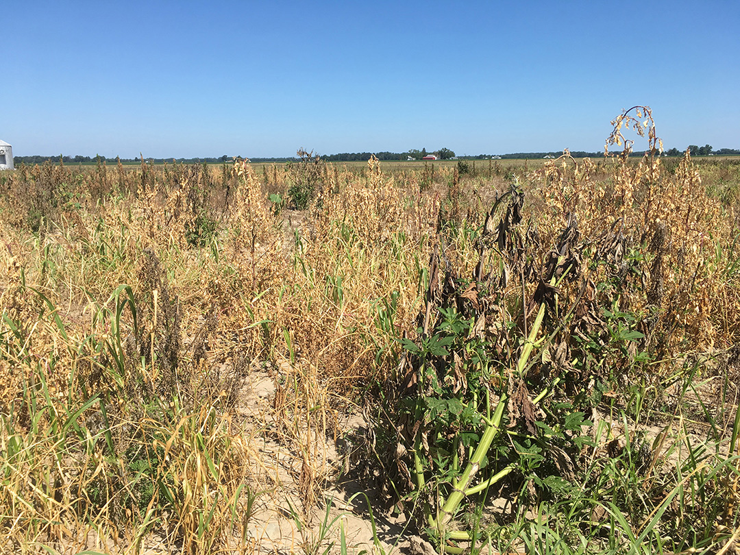 Figure 1. Regrowth of grasses and ragweeds after failed herbicide application to large weeds (Photo: Marcelo Zimmer).