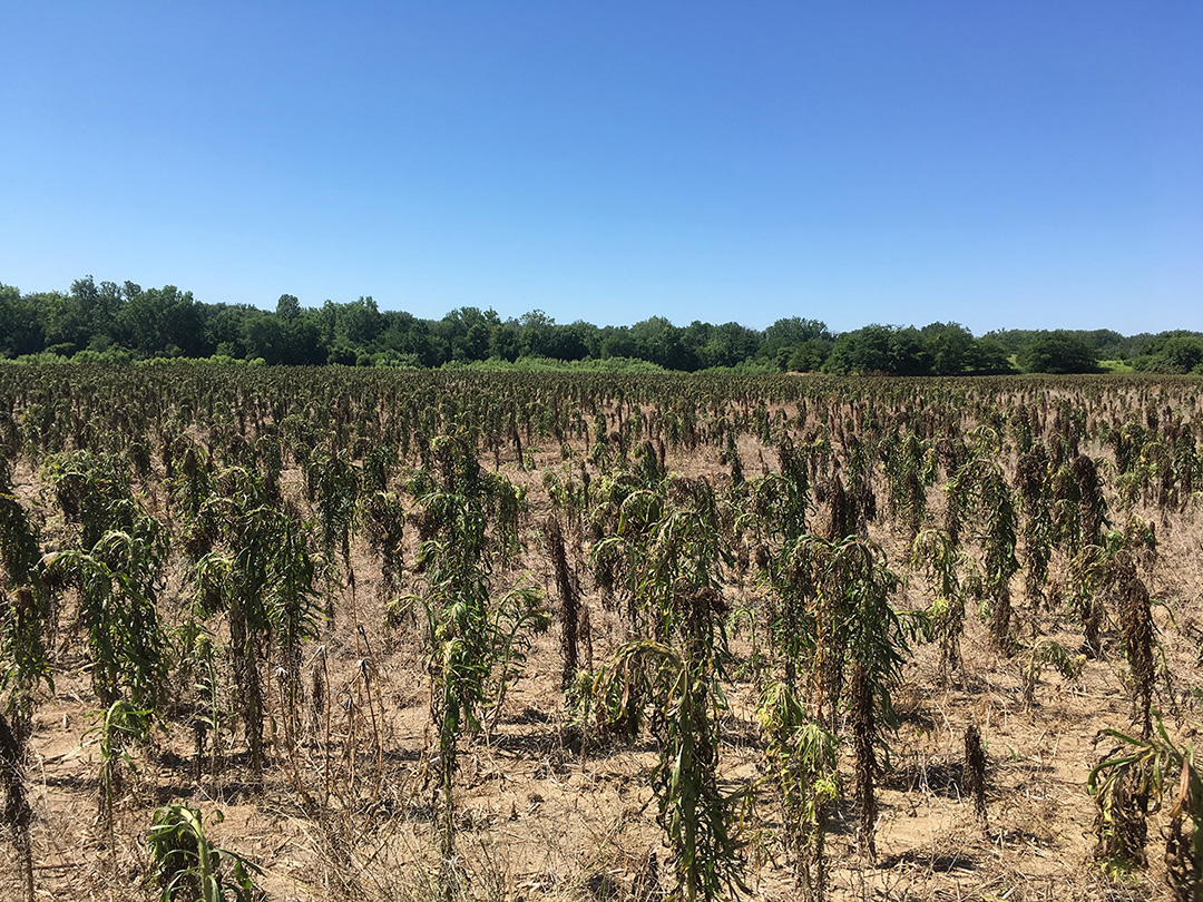 Figure 2. Failed herbicide application to field infested with horseweed (marestail) (Photo: Marcelo Zimmer).