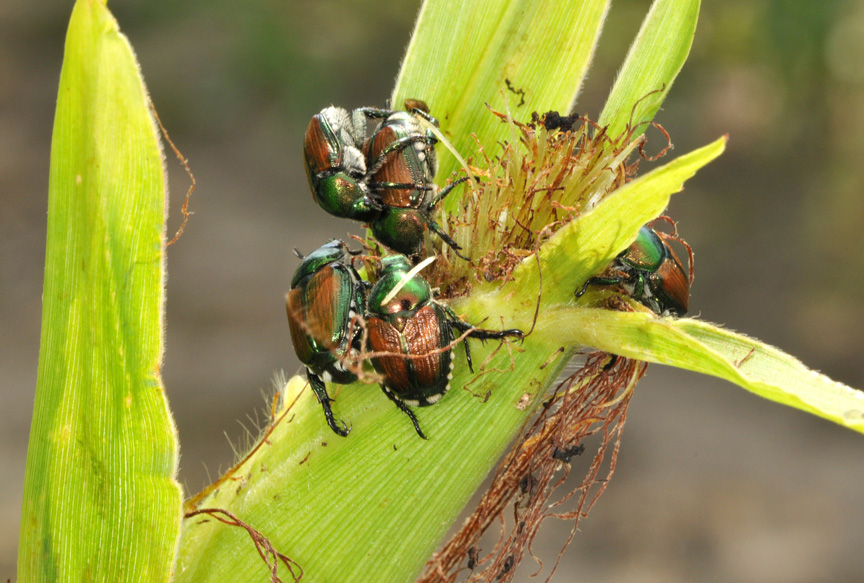 "Japanese beetle ""parties"" on selected ears may give false impressions of pollination problems for the whole field"