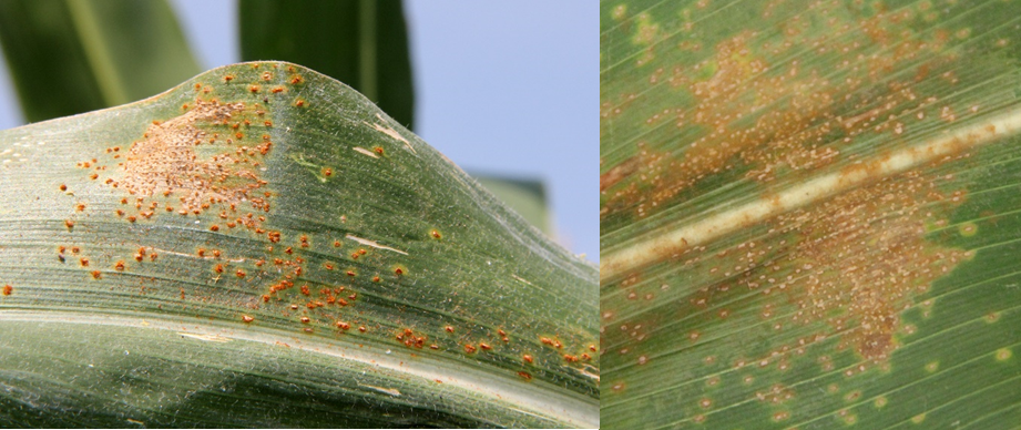 generally form and erupt on upper surface. (Photo Credit: A. Sisson, Iowa State University at https://cropprotectionnetwork.org/resources/articles/diseases/southern-rust-of-corn.