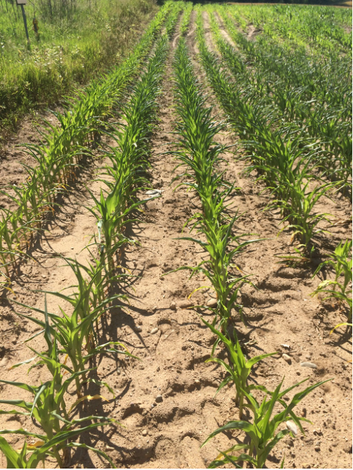 Late planting and cool weather has resulted in crops prone to drought stress.