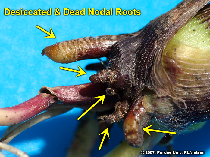 """Rootless"""" or """"Floppy"""" Corn Syndrome 