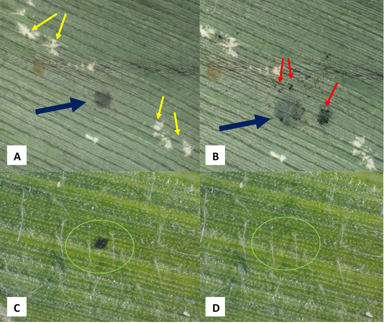 Figure 3. A) A 'Suspect' tar spot (blue arrow) and insect feeding damage (yellow arrows) on a corn leaf. B) The same spot, but scrapped away red arrows, indicating insect frass. C) A suspect spot on a leaf (green circle), and D) Spot wiped away (green circle). Photo credit: John Bonkowski and Tom Creswell, PPDL.