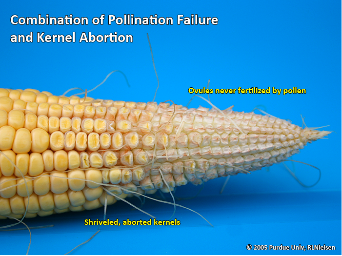 Combination of pollination failure and kernel abortion