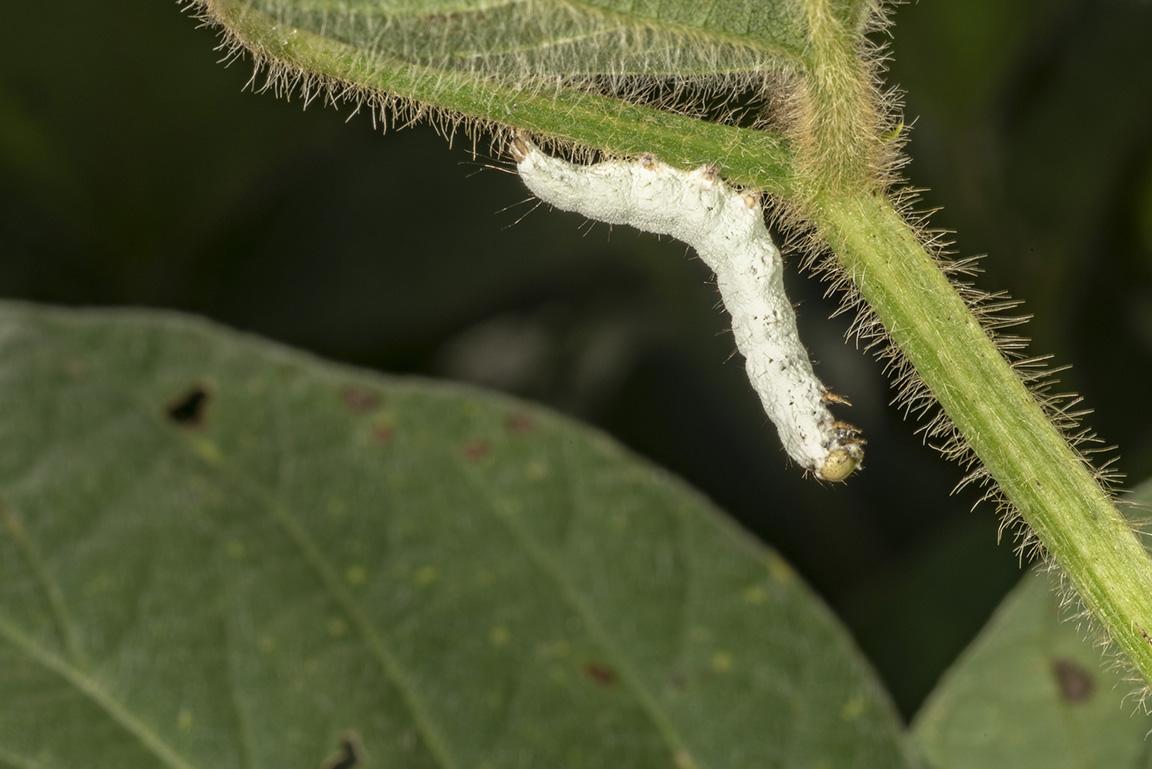 Diseased green cloverworm.