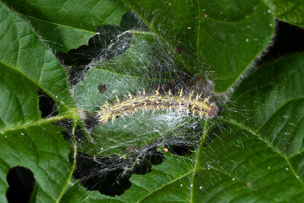 Thistle (painted lady) caterpillar within webbing on soybean.