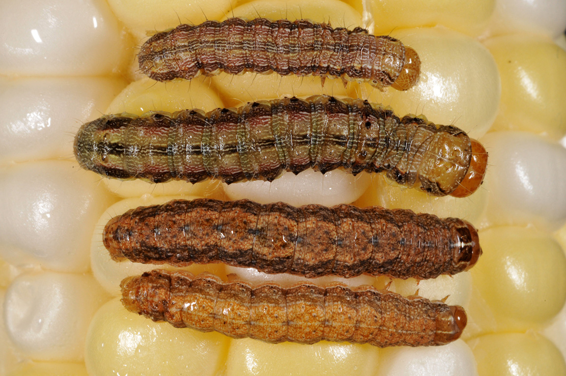 Two different sizes of corn earworm (top) versus western bean cutworm (below).
