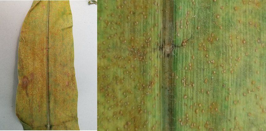 Figure 2. Southern rust pustules on corn leaf. Pustules generally form and erupt on upper surface. (Photo Credit: Darcy Telenko)