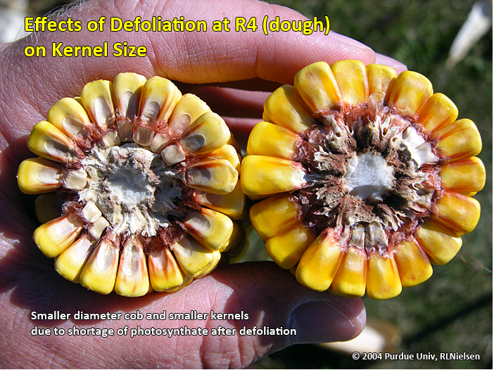 Effects of defoliation at R4 (dough) on kernel size