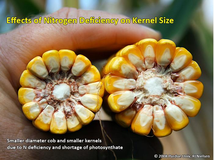 Effects of nitrogen deficiency on kernel size