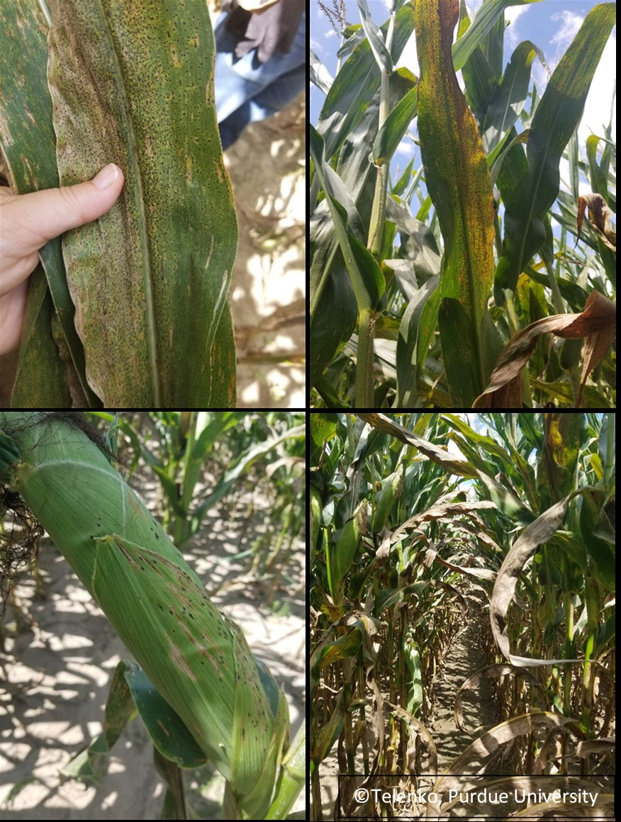 Figure 3. Tar spot symptoms on leaves both on the lower and the upper canopy, on husks, and causing the lower canopy to rapidly senescence (dry up). (Photo Credit: Darcy Telenko)