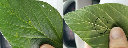 Figure 4. Downy mildew symptoms on upper leaf – pale green to light yellow spots and the underside showing the sporulation. (Photo Credit: Darcy Telenko)