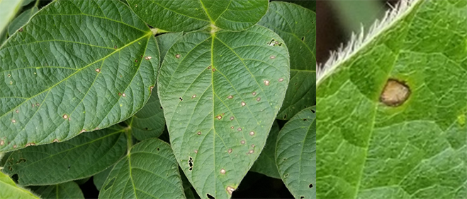 Figure 5. Frogeye lesions on soybean. (Photo Credit: Darcy Telenko)