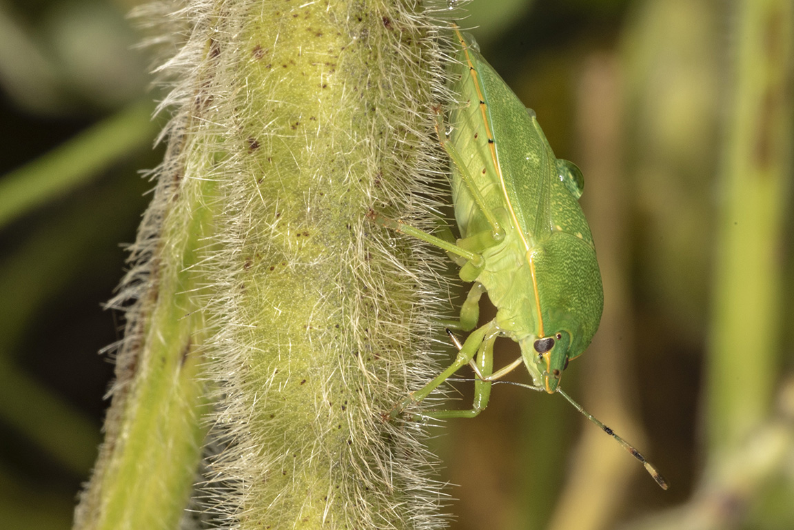 Close-up of an adult green stink bug feeding on a pod
