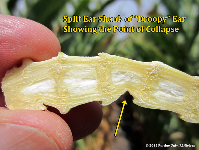 "Split ear shank of ""droopy"" ear showing the point of collapse."