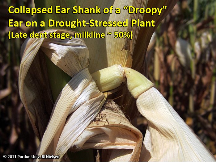 Collapsed ear shank of a droopy ear on a drought stressed plant.