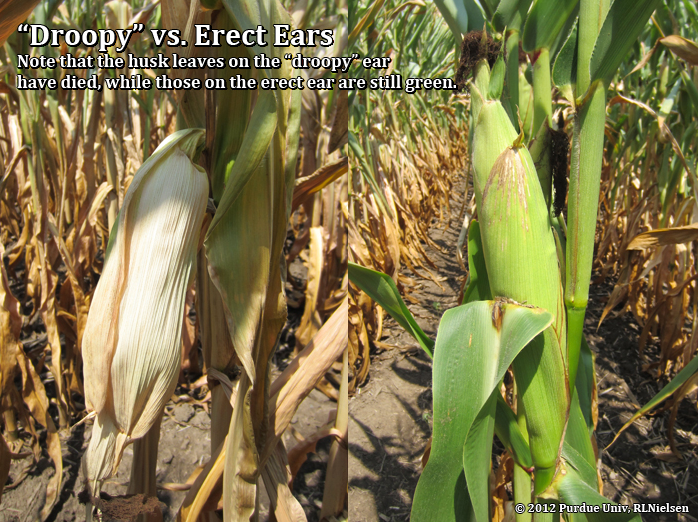 Droopy vs. erect ears; Note that the husk leaves on the droopy ear are already dead.