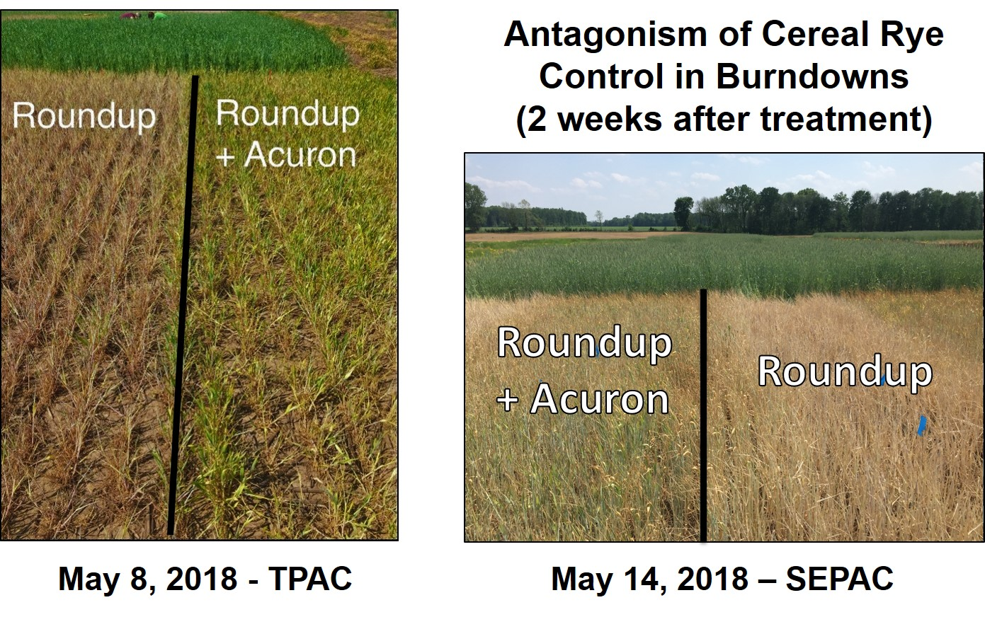 Figure 1. Picture of Roundup alone compared to Roundup + Acuron two weeks after herbicide application to terminate cereal rye.