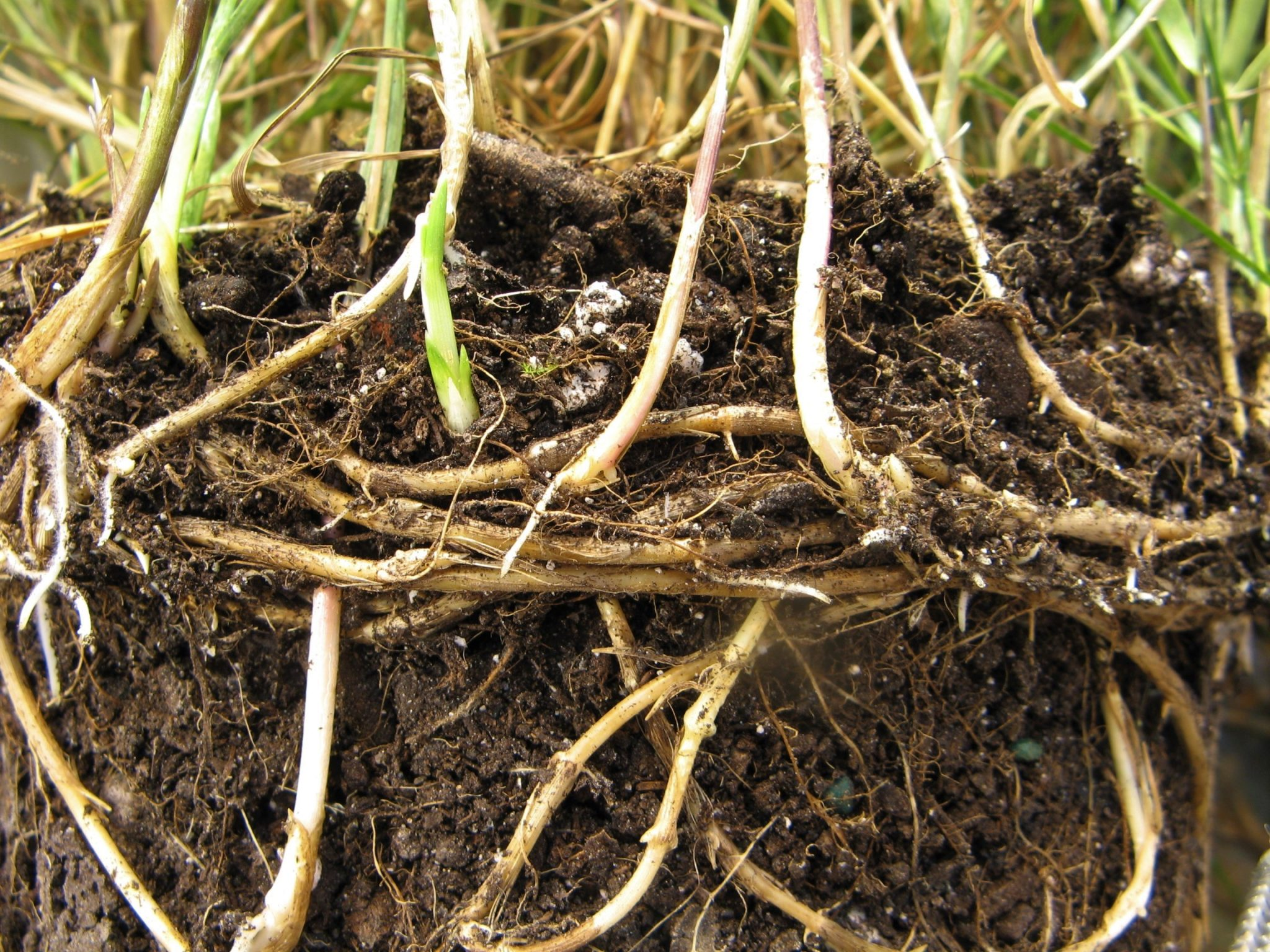 Figure 1. Quackgrass rhizomes. (Photo Credit: Dr. Aaron Patton)