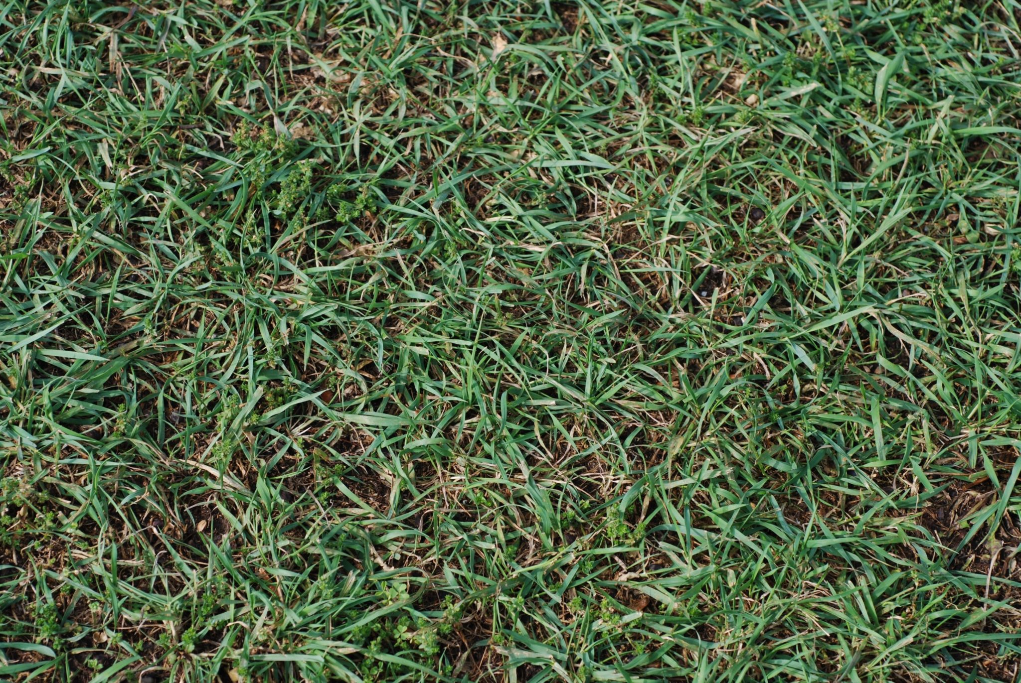 Figure 2. Quackgrass patch. (Photo Credit: Dr. Aaron Patton)