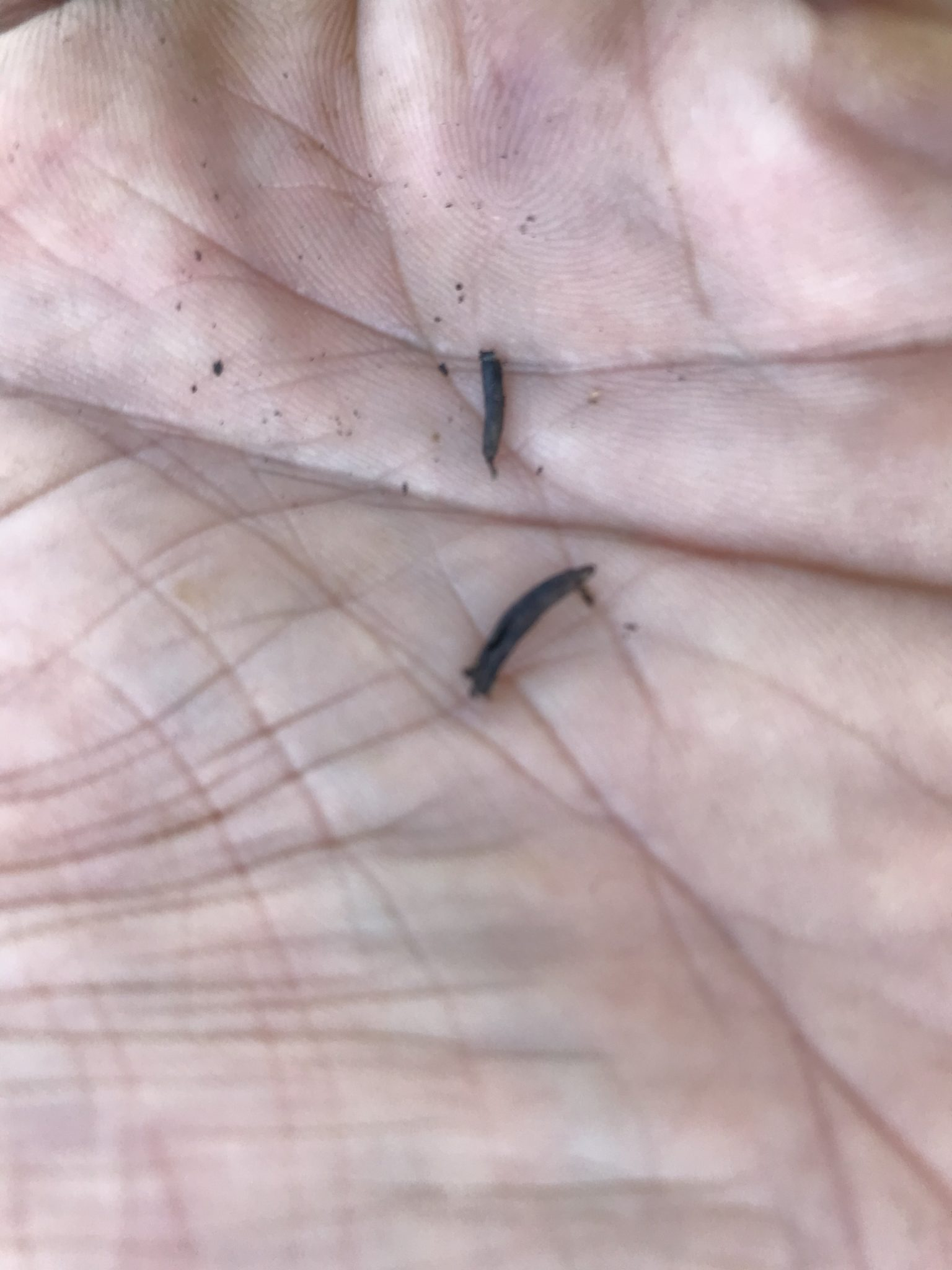 Two individual ergot bodies (sclerotia) from a grass seed head.