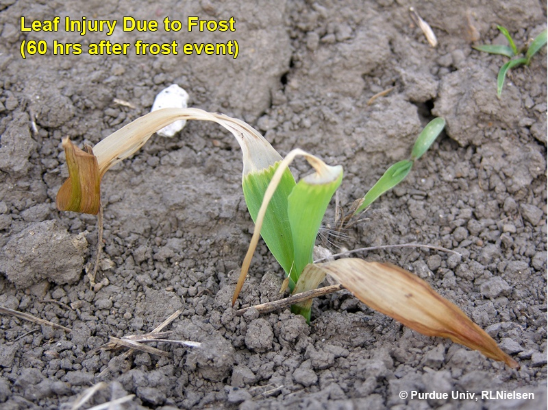 60 hours post-frost, visible elongation of undamaged leaf tissue from whorl of plant.