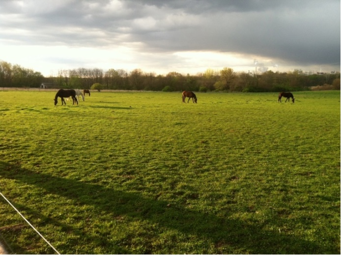 Horses grazing a dominant Kentucky bluegrass pasture to a low plant height.