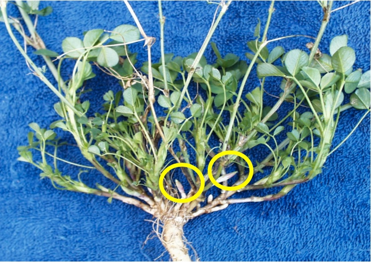 An alfalfa plant with crown buds circled can avoid being cut with a 2-inch mowing height.
