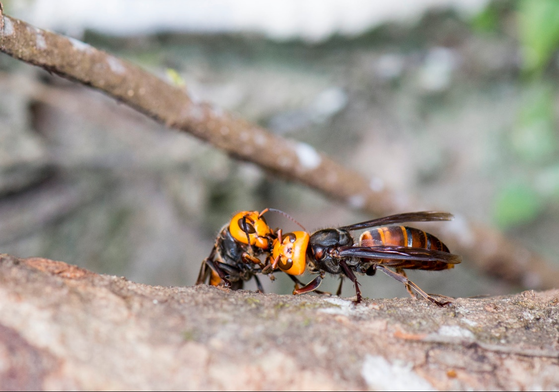 Asian giant hornets have bright yellow heads and a distinctive large body size. (Image taken by LiCheng Shih of flckr.com)