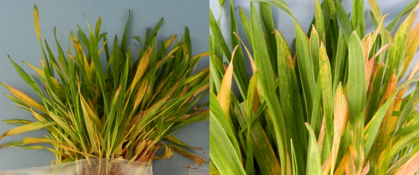 Figure 3. Wheat infected by wheat spindle streak mosaic virus (WSSMV). Typical display of spindle-like chlorotic lesions of WSSMV on foliage and mosaic pattern. Yellow, mottled, mosaic patterns can also be a symptom of SBWMV infection.