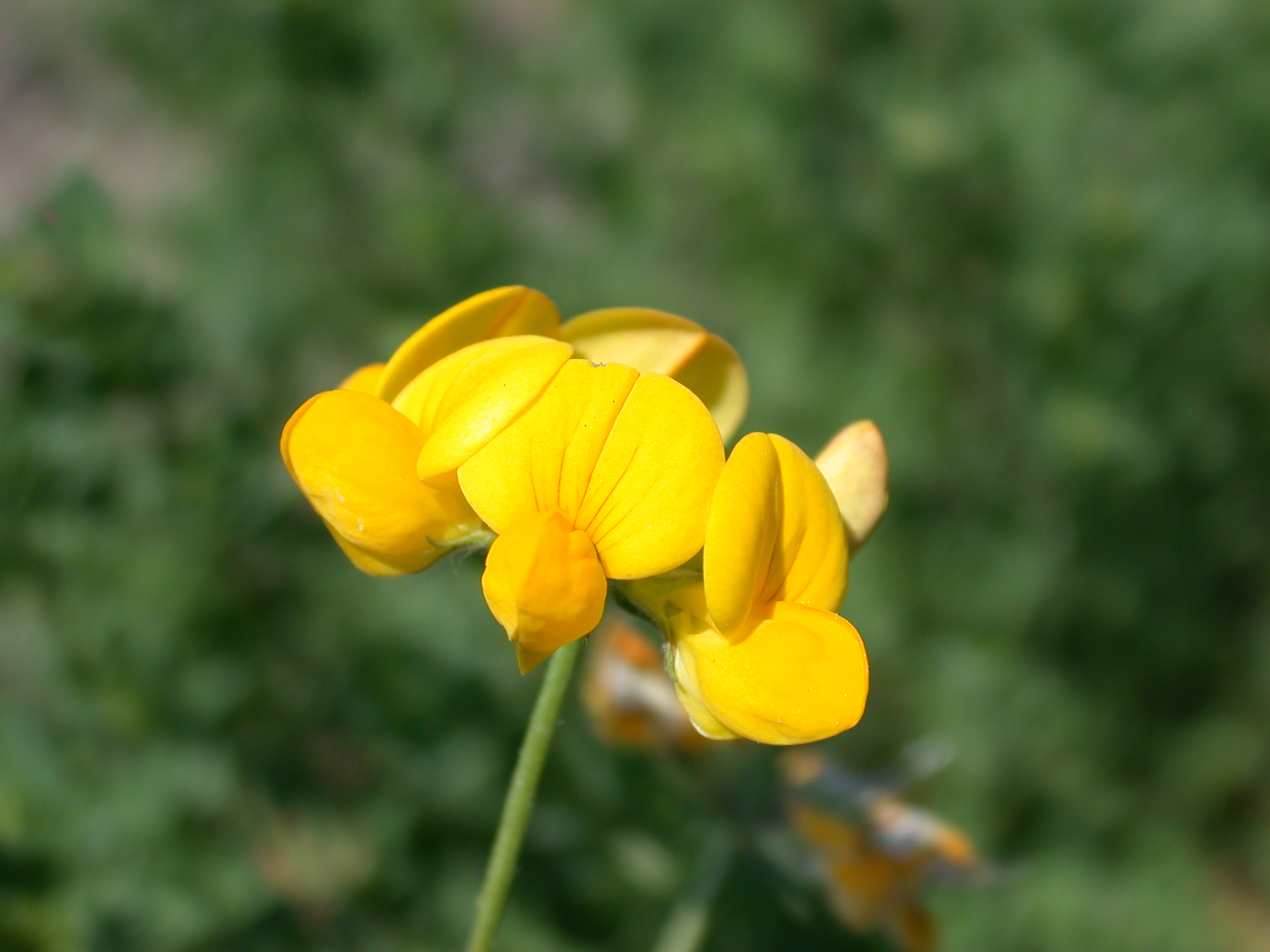 Birdsfoot trefoil flower