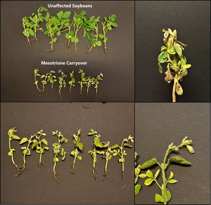 Figure 1. Mesotrione carryover to soybeans (Photo Credit: Marcelo Zimmer).