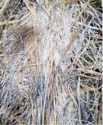 Moldy hay caused by microorganisms because hay was made at too high a moisture content. (Photo Credit: Brooke Stefancik, Purdue ANR Educator-Sullivan County)
