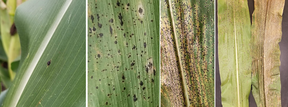 Figure 2. Corn leaves infected by tar spot. Infection can range from mild to severe on a leaf. The spots will be raised (bumpy to the touch) and will not rub off. In addition, they may be surround by a tan or brown halo, and high severity can lead to a rapid blighting of the leaf. Photo Credits: Darcy Telenko