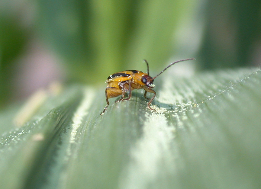 Western corn rootworm beetle feeding on corn pollen.
