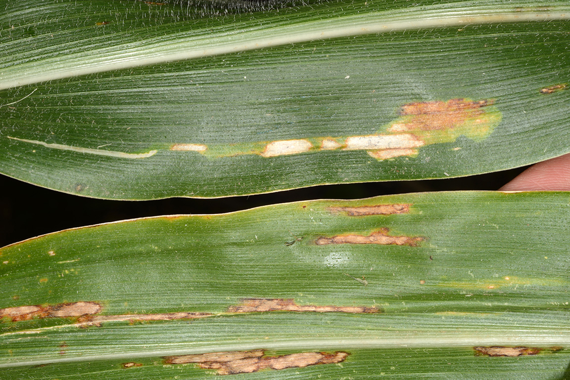 Corn blotch leafminer (top) compared to gray leaf spot (bottom).