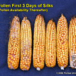 Kernel set on ears where pollination was prevented for 3 days after first silk emergence, then allowed to proceed without interference.