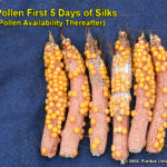 Kernel set on ears where pollination was prevented for 5 days after first silk emergence, then allowed to proceed without interference.
