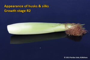 Appearance of husks and silks - Growth stage R2