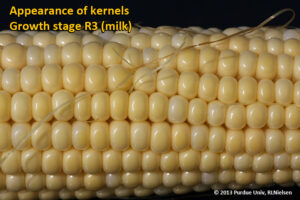 Appearance of kernels - Growth stage R3 (milk)